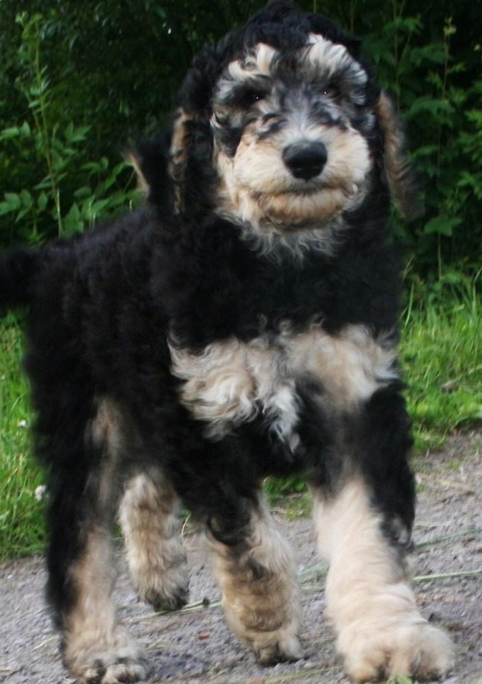 silver standard poodle phantom standard poodle blue standard poodle ...